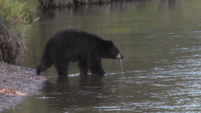 stockvideo's en b-roll-footage met ms shot of black bear (ursus americanus) taking an evening swim on a warm fall day - mount moran