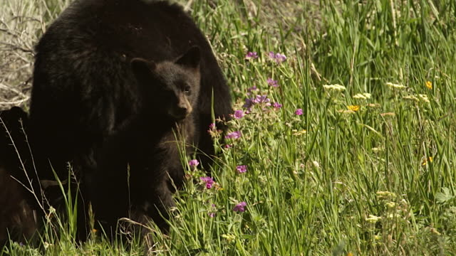 MS shot of black bear with cubs (Ursus americanus) walking away from the camera as one cub stands and looks back