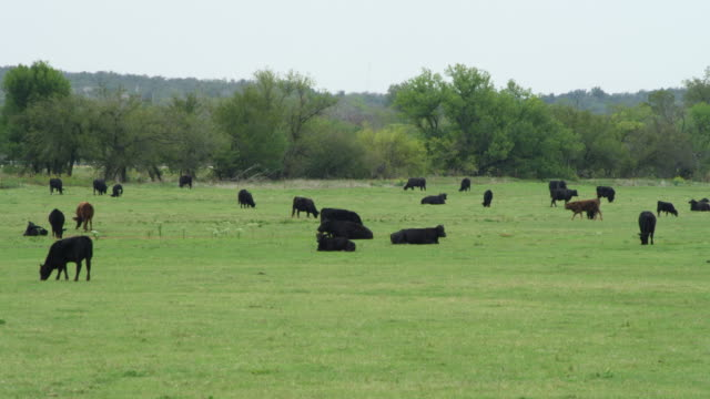 ms shot of black cows grazing and sitting at large field / stroud, oklahoma, united states - oklahoma stock-videos und b-roll-filmmaterial