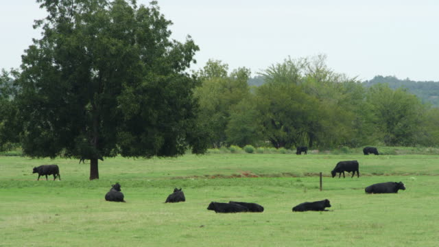 ms shot of black cows grazing and sitting at large field / stroud, oklahoma, united states - 牧畜場点の映像素材/bロール