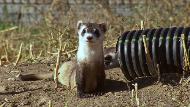 cu shot of black footed ferret comes out of pipe and another black footed ferret sticks head out and looks around at us fish and wildlife national black footed ferret conservation center / fort collins, colorado, united states - wildlife conservation stock videos & royalty-free footage