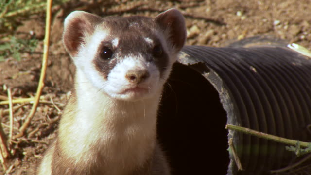 CU Shot of Black Footed ferret looking around US Fish and Wildlife National Black footed ferret Conservation Center / Fort Collins, Colorado, United States
