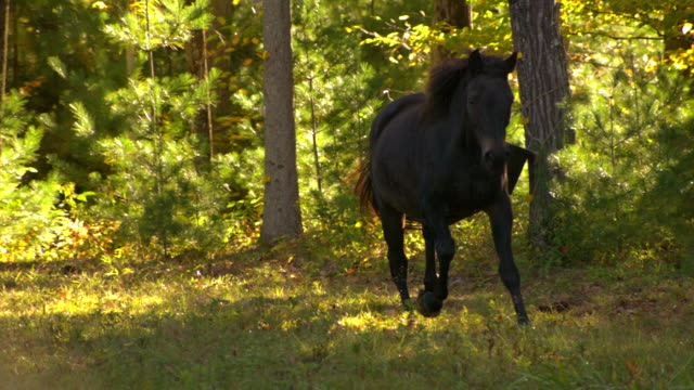 ws slo mo ts zi zo shot of black horse galloping in field / shady, new york, united states - trot animal gait stock videos & royalty-free footage