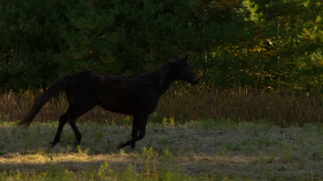 WS SLO MO TS Shot of black horse galloping in field / shady, New York, United States
