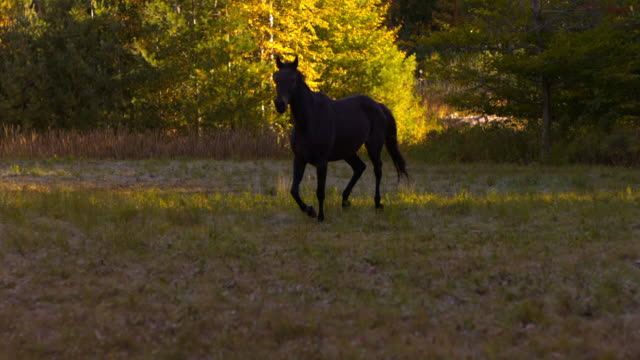 vidéos et rushes de ws ts slo mo shot of black horse galloping through shaded field / shady, new york, united states - animaux au travail