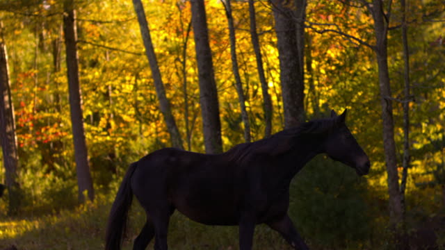 MS TS SLO MO Shot of black horse walking through shaded field and over hay / shady, New York, United States