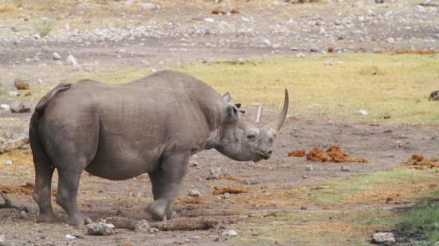 ms ts shot of black rhinoceros drinking water in savannah / etosha national park, namibia - standing stock videos & royalty-free footage