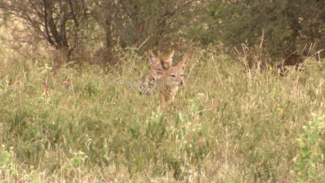 stockvideo's en b-roll-footage met ms shot of black-backed jackals in long grass, pilanesberg game reserve / north west province, south africa - vier dieren