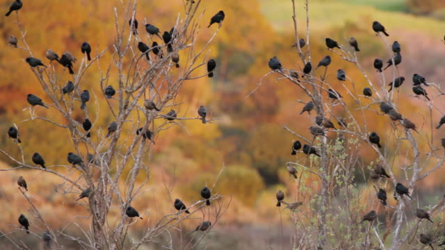 MS Shot of Blackbirds (mostly redwings) on trees at dusk Santa Monica Mountains National Recreation Area / California, United States