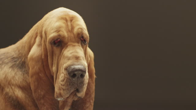 CU SLO MO Shot of Bloodhound dog with its tongue out / Shepperton, Middlesex, United Kingdom
