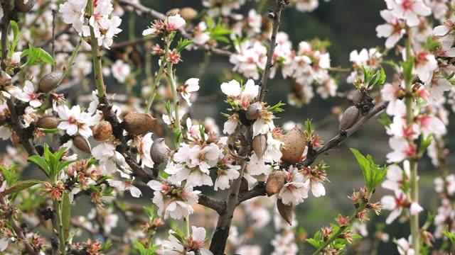 CU Shot of blooming almond trees / Cala d'Or, Mallorca, Balearic Islands, Spain