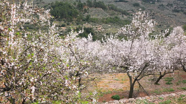 MS Shot of blooming almond trees in town near Soller / Fornalutx, Mallorca, Balearic Islands, Spain