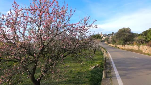 WS Shot of blooming almond trees / Selva, Mallorca, Balearic Islands, Spain