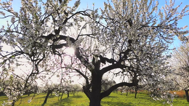 CU Shot of blooming almond trees / Selva, Mallorca, Balearic Islands, Spain
