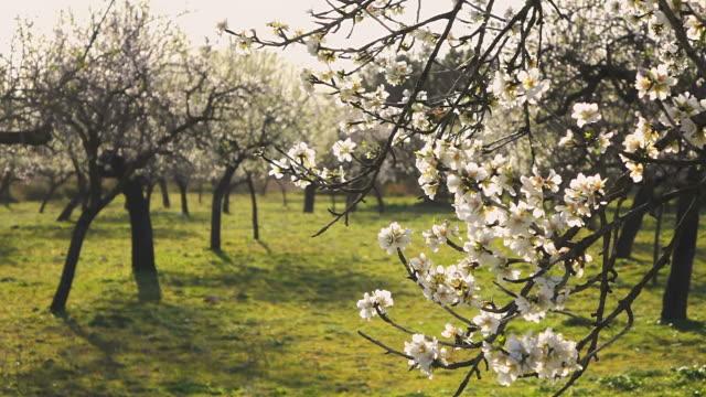 cu r/f shot of blooming almond trees with town / selva, mallorca, balearic islands, spain - アーモンド点の映像素材/bロール