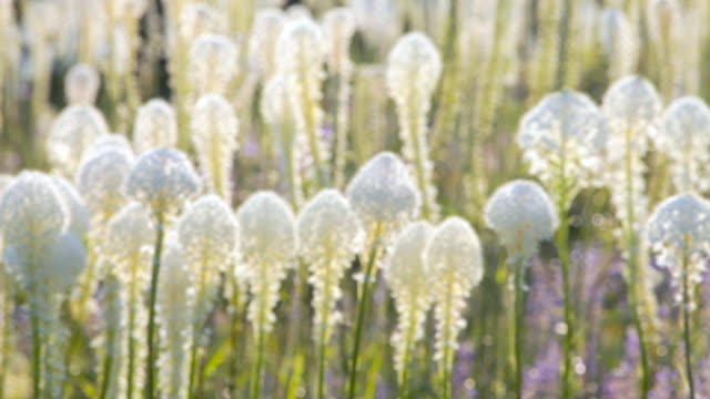 vídeos de stock, filmes e b-roll de ms r/f shot of blooming beargrass (xerophyllum tenax) waving in wind at big mountain / whitefish, montana, united states - sc47