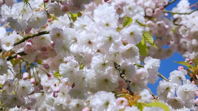 vídeos de stock, filmes e b-roll de cu shot of blooming cherry trees at keukenhof gardens / lisse, south holland, netherlands - árvore de folha caduca