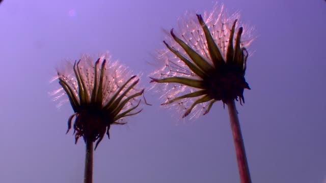 Shot of Blooming Dandelion