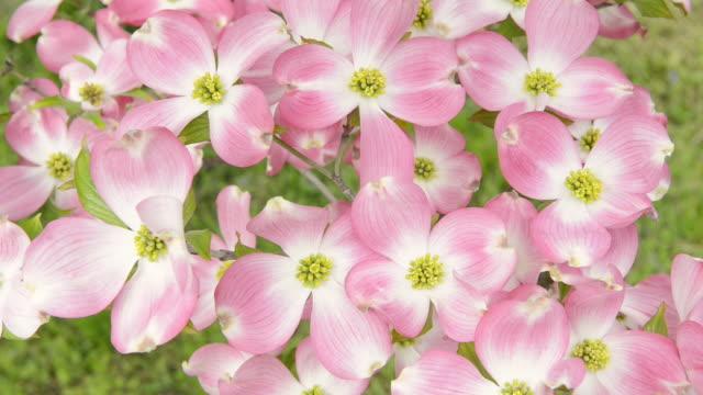 vídeos de stock e filmes b-roll de cu r/f shot of blossom on dogwood tree (cornus florida) / merano, south tyrol, italy - cornus
