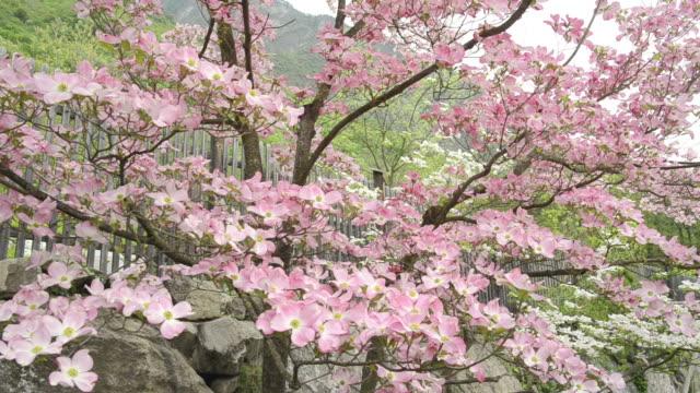 vídeos de stock e filmes b-roll de ms shot of blossom on dogwood tree (cornus florida) / merano, south tyrol, italy - cornus