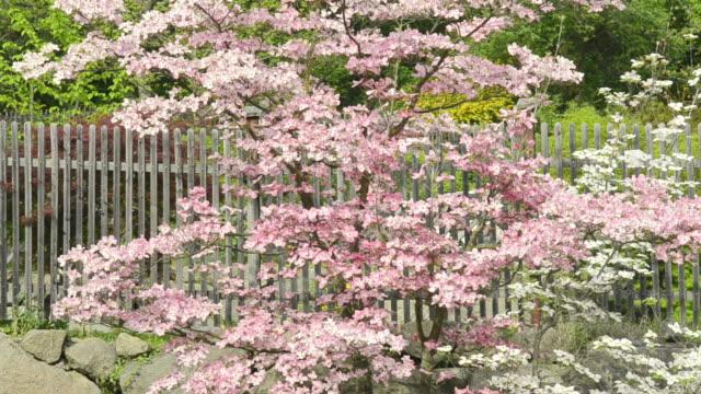 Amerikanischer Blumenhartriegel Stock Videos Und B Roll Filmmaterial