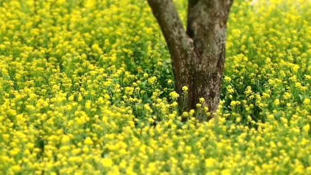 ms t/l shot of blowing oilseed rape in breeze / seosan, chungcheongnam-do, south korea - crucifers stock videos & royalty-free footage