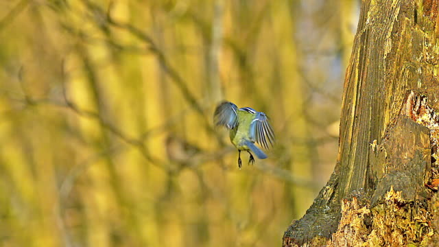 MS SLO MO Shot of blue tit taking off and landing on tree trunk / Vieux Pont en Auge, Normandy, France
