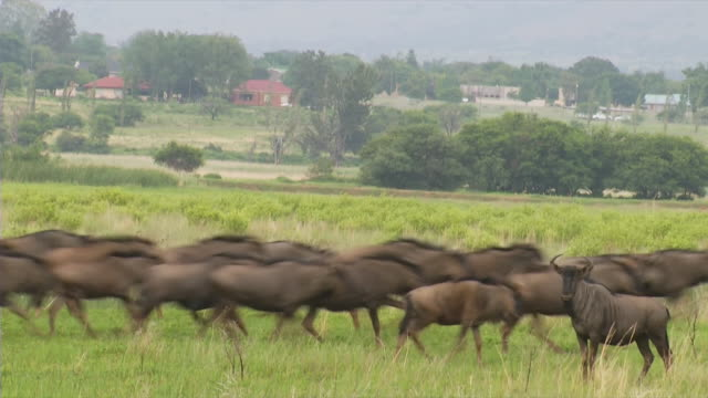 ms shot of blue wildebeest standing and running in green field / utrecht, kwazulu natal, south africa - antelope stock videos & royalty-free footage
