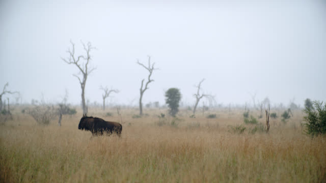 WS Shot of Blue wildebeest (Connochaetes taurinus) walking in savannah / Kruger National Park, Mpumalanga, South Africa