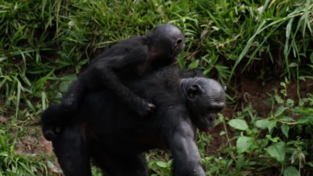 MS TU SLO MO Shot of Bonobo baby and mum in river collecting apples Baby on mums back / Kinshasa, Congo