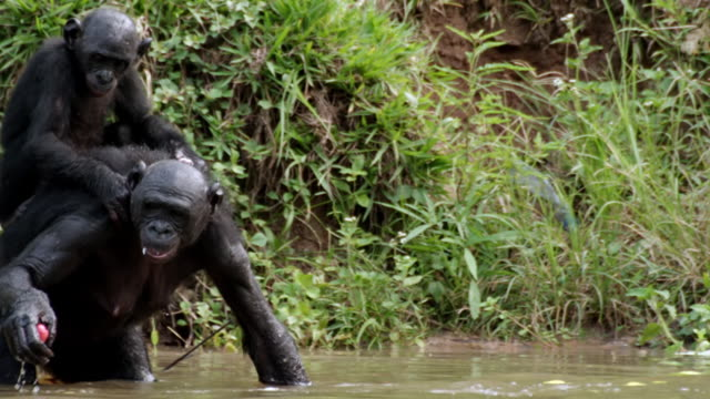 MS SLO MO Shot of Bonobo baby and mum in river collecting apples Baby on mums back / Kinshasa, Congo