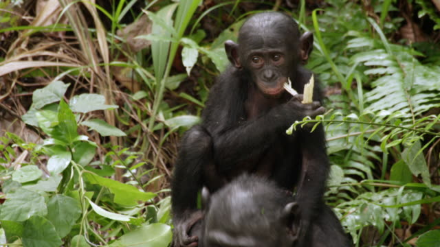 MS Shot of Bonobo baby chimp on mums back Eating Baby / Kinshasa, Congo