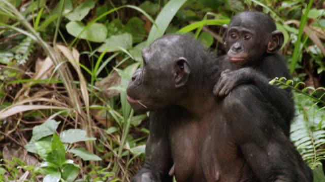 MS PAN Shot of Bonobo baby chimp on mums back Eating hide in bush / Kinshasa, Congo