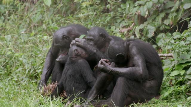 ms shot of bonobo grooming young bonobo / kinshasa, congo - groom stock videos and b-roll footage