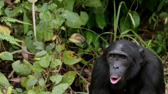 MS PAN Shot of Bonobo howling / Kinshasa, Congo