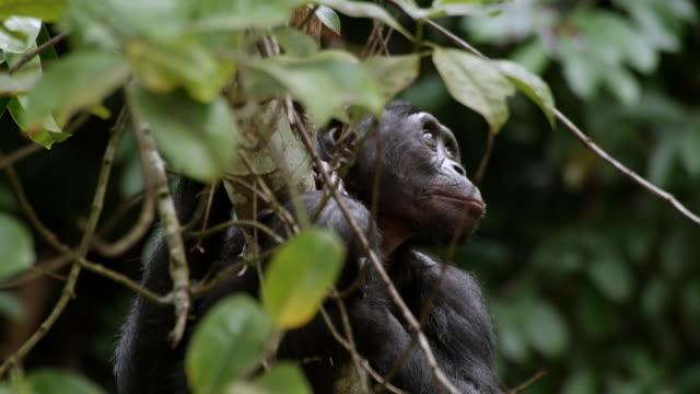 CU Shot of Bonobo mum and baby in tree / Kinshasa, Congo