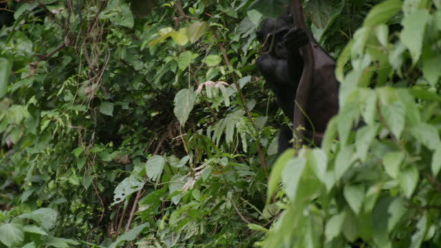 MS TD SLO MO Shot of Bonobo swinging in trees, climbs down tree to other Bonobos / Kinshasa, Congo