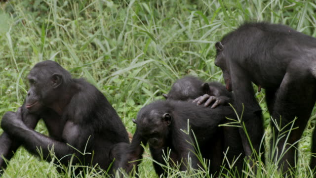 MS Shot of Bonobos grooming each other in grass / Kinshasa, Congo