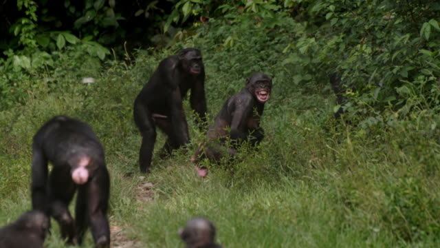 ws slo mo shot of bonobos running round howling in grass / kinshasa, congo - group of animals stock videos & royalty-free footage