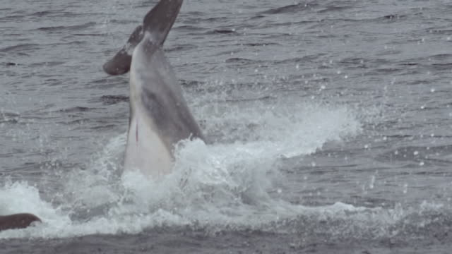 """""""ms pan slo mo shot of bottlenose dolphin tursiops trucatus diving back into water after leaping out / isle of mull, argyll and bute, scotland """" - mull stock-videos und b-roll-filmmaterial"""