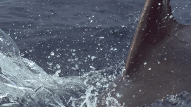 """""""bcu slo mo ts shot of bottlenose dolphin tursiops trucatus travelling / isle of mull, argyll and bute, scotland """" - mull stock-videos und b-roll-filmmaterial"""
