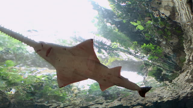 ms shot of bottom of shark in aquarium / dallas, texas, united states - cinque animali video stock e b–roll