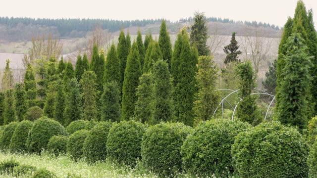 ms shot of box tree plants(buxus sempervirens) in nursery / saarburg, rhineland-palatinate, germany - saarburg stock-videos und b-roll-filmmaterial