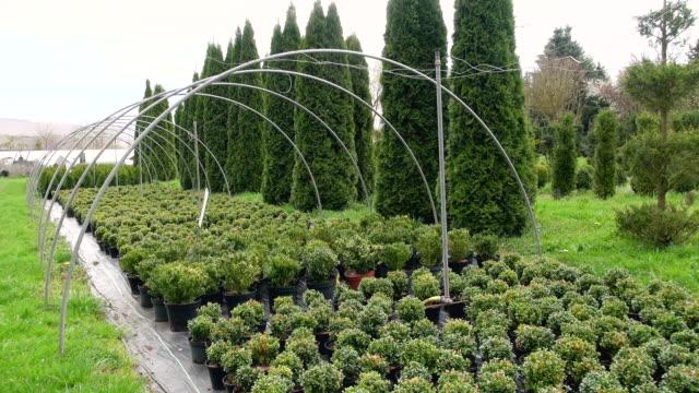 ws shot of box tree plants(buxus sempervirens) in nursery / saarburg, rhineland-palatinate, germany - plant nursery stock videos and b-roll footage