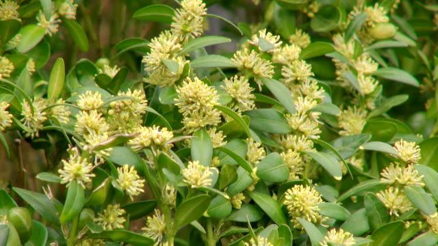 cu shot of box tree plants(buxus sempervirens) in nursery / saarburg, rhineland-palatinate, germany - saarburg stock-videos und b-roll-filmmaterial