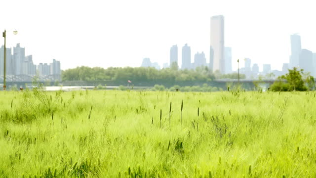 Shot of breeze blowing on Chung barley(green barley) field in Ichon Hangang Park