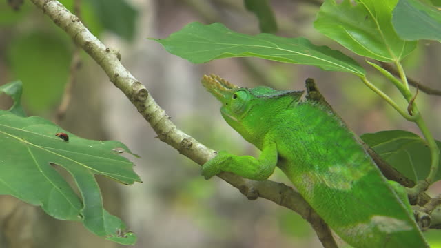 vidéos et rushes de cu shot of bright green usambara two-horned chameleon slowly walking on branch in forests of kenya at foot of kilimanjaro mountains / east africa, kenya - caméléon