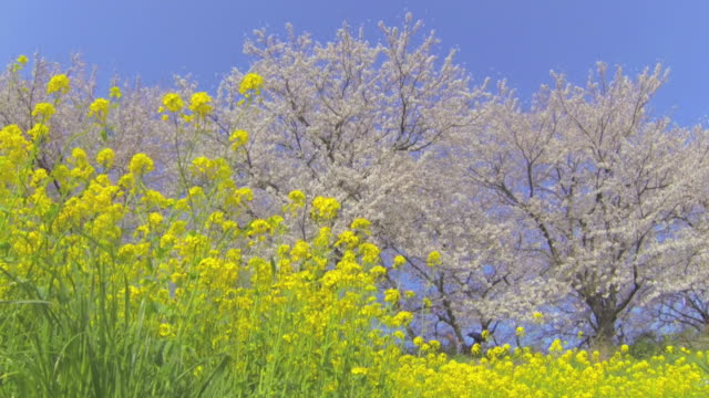 ms shot of broccolini and cherry blossom / gongendo, saitama prefecture, japan  - saitama prefecture stock videos & royalty-free footage