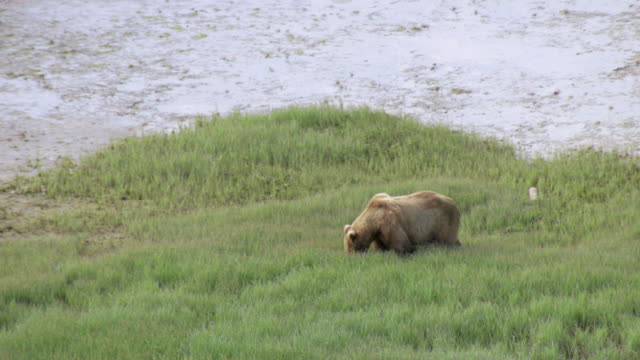 MS AERIAL Shot of brown bear walking across muddy tidal flat with tongue out at Katmai National Park / Alaska, United States