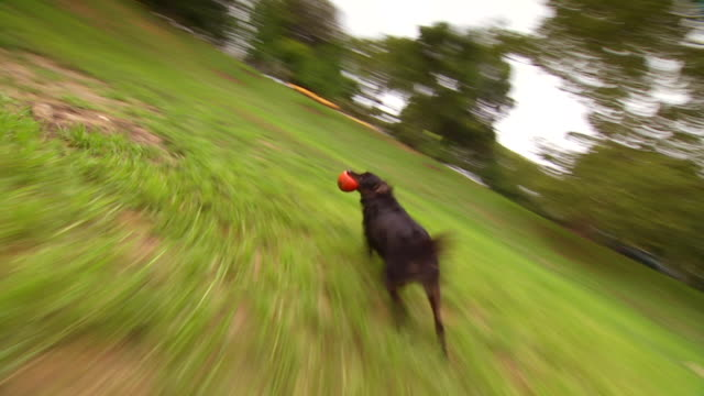 CU TS POV Shot of brown dog running carrying orange ball in mouth / United States